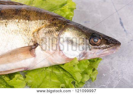 Fresh Pike Perch