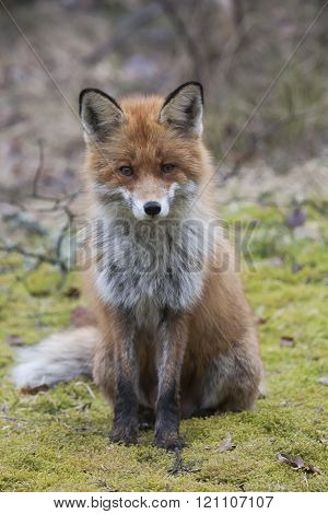 a european red fox begging for a snack