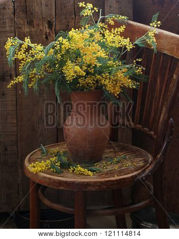 bouquet of yellow Mimosa in a clay pot on a wooden table