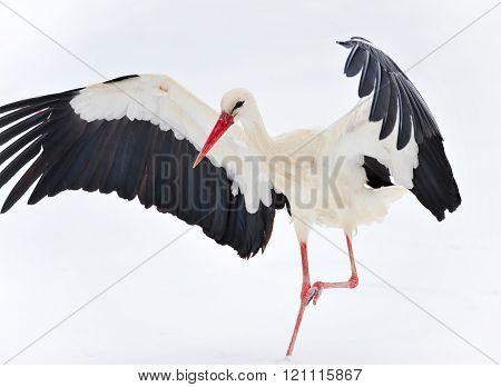 Beautiful Stork On Snow
