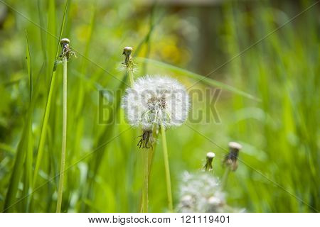 A few dandelions on a green background.