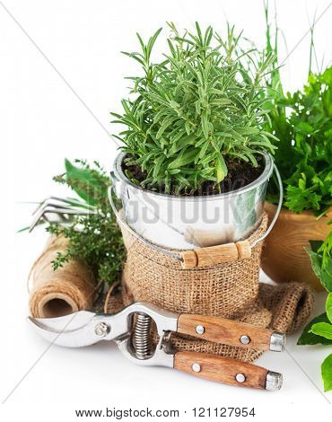 Fresh green herbs with garden tools. Isolated on white background