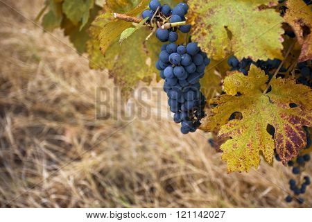 Pinot Noir Wine Grape In Autumn