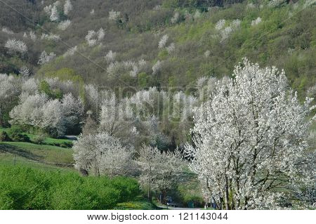 Langhe with cherries trees landscape