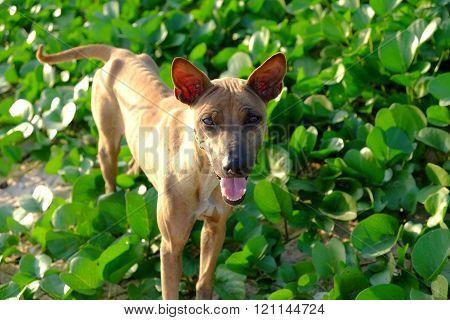 Hungry brown dog