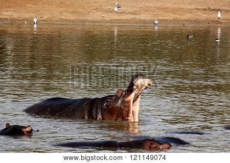Hippo is in the lake