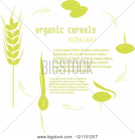 The cultivation of grain seeds banner. Green seed, spikelets with yellow outlines on a white backgro