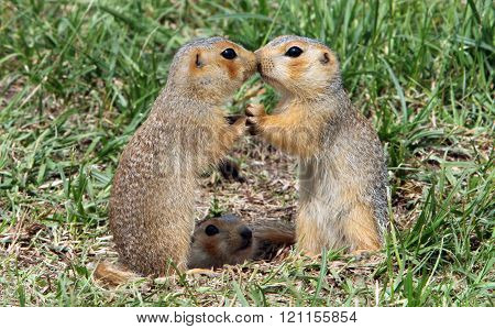 funny ground squirrels