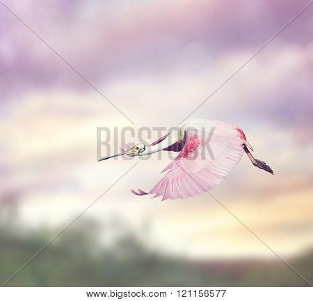 Roseate Spoonbill (Platalea ajaja) in Flight