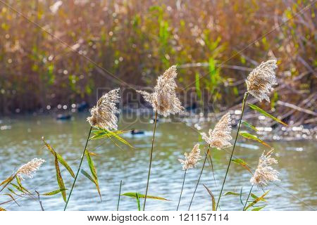 Flock of waterfowl winters at Lake Hula. Hula Nature Reserve, Israel, December