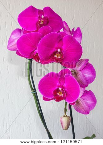 Pink spotted phalaenopsis