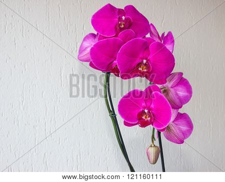 Pink Phalaenopsis (orchid) With Bud