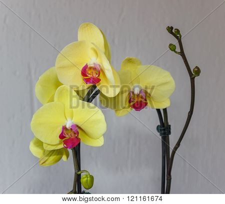 Yellow Phalaenopsis Flowers (orchid)