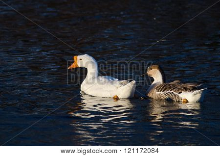 Pair Of Chinese Geese Swimming On The Dark Blue Water