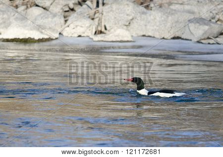 Common Merganser Swimming In The Cold Winter River