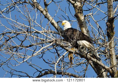 Bald Eagle Perched In A Winter Tree With A Half Eaten Squirrel