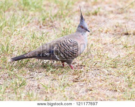 Australian Crested Pigeon Bronzovokryly