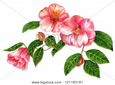 Vintage Style Watercolor Camellia Branch With Blossoming Flowers, On White