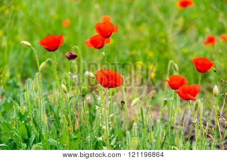 Field Of Blooming Poppies
