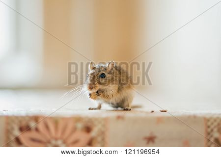 Gerbil eating grain on the table