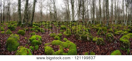 Misty forest with green moos and fallen leaves