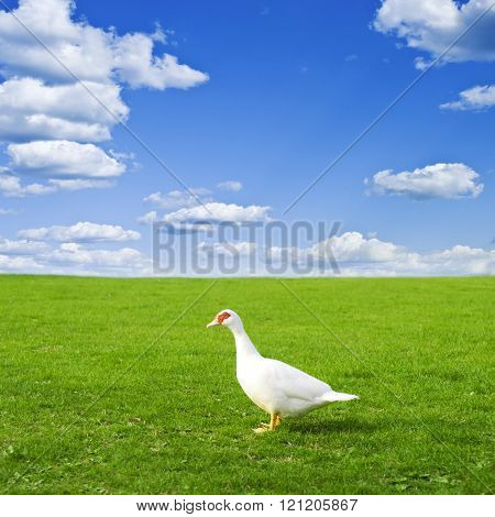 one duck on a green meadow against a blue sky with clouds