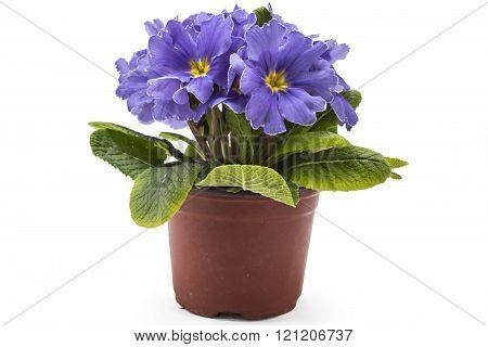 Primroses, Primula Polyanthus