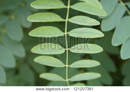 The leaves of acacia