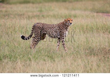 A Cheetah Hunting