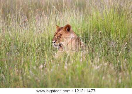 A Lioness Resting In Tha Grass