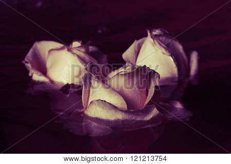 Beautiful Fresh Rose With Drops And Reflection In The Water