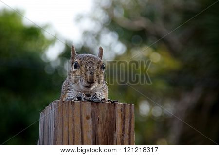 Eastern Grey Squirrel Looking At Viewer