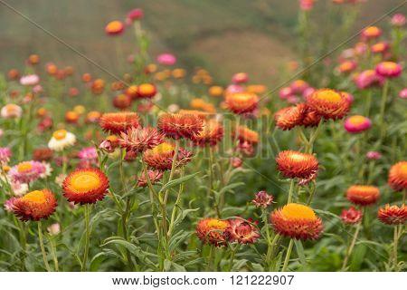 Straw flower or Everlasting