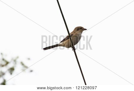 Northern Shrike with white background close up
