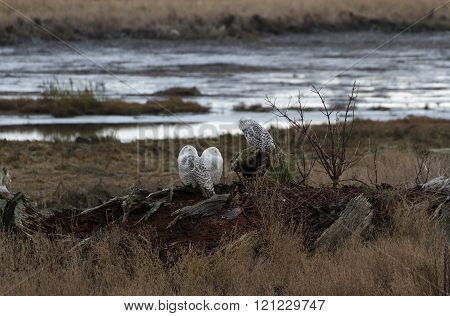December 2012 About 28 snowy owls near the foot of 64nd Street on Boundary Bay Delta BC Canada
