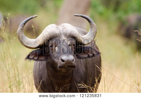 Cape Buffalo Head, Kruger National Park, South Africa.