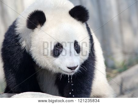 Giant Panda with water dripping down its mouth, Chengdu, China