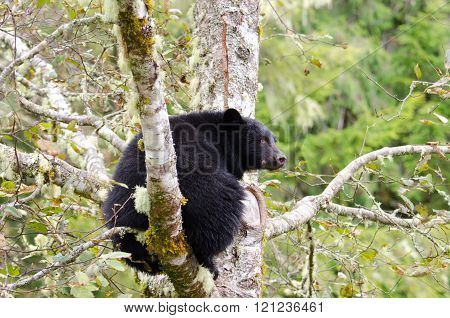 A Black Bear sitting in a tree, Vanouver Island, Canada