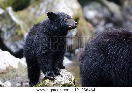 Black bear cub following Mother bear, Canada