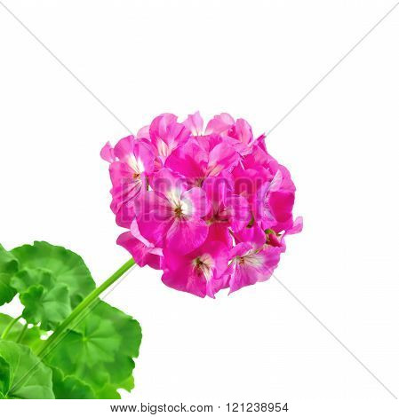 Geranium pink with leaves