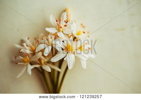 White Scilla (Squill) flowers, on table