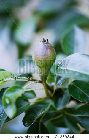 Unripe pear on branch in organic orchard