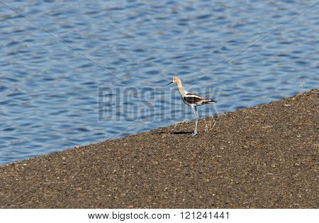 a American Avocet standing on lake beach