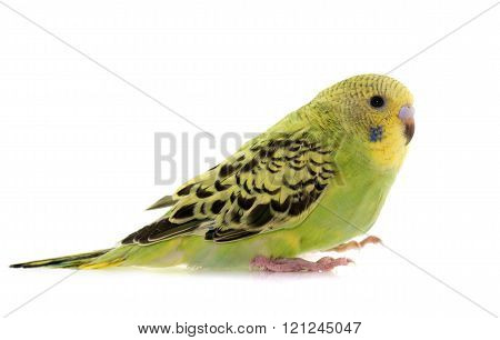 young budgerigar in front of white background