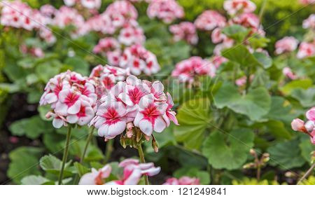 Geranium (pelargonium) planted on the boulevard in Baku