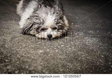 Shabby Doggy Is Lie Down On The Street