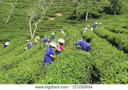 Dalat, Vietnam, December 30, 2015: A group of farmers picking tea on a summer afternoon in Cau Dat tea plantation, Da lat, Vietnam