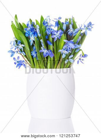 Blue snowdrops, first spring flowers