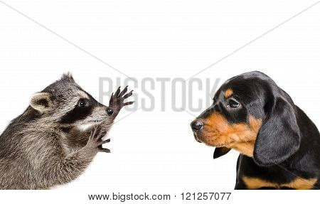 Portrait of playful raccoon and puppy