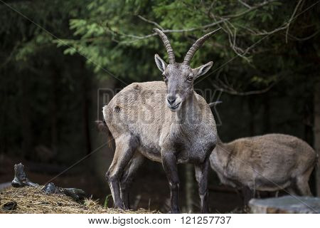 Alpine ibex in a wood